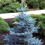 Picea pungens Glauca