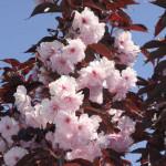 crvenolisna tresnja cvet