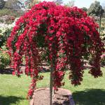 ruza stablasica crvena padajuca