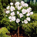 ruza stablasica bela