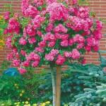 ruza stablasica roze lopta