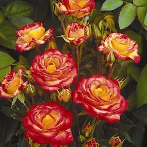samba ruza mnogocvetna