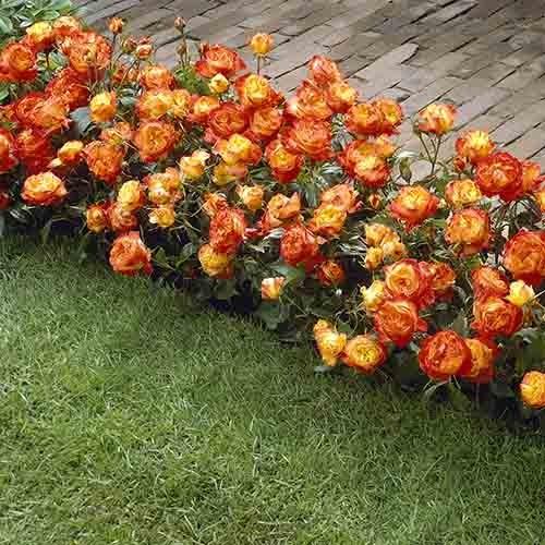 mnogocvetna ruza samba