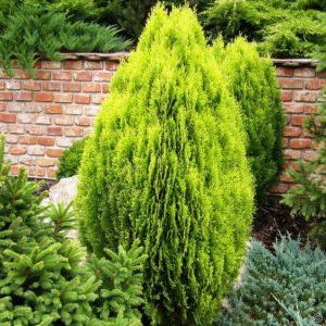 thuja orientalis aurea nana