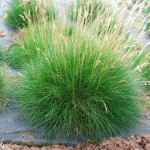 festuca gautieri