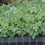 aegopodium variegatum j