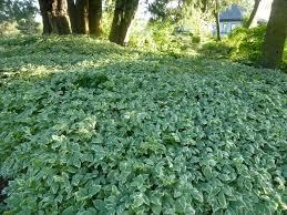 aegopodium variegatum