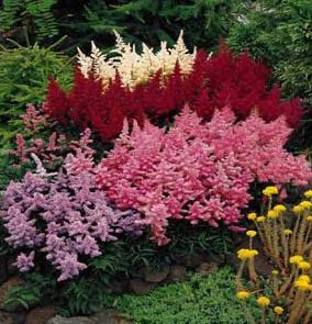 astilbe-groups