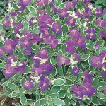 aubrieta variegata