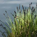 carex nigra