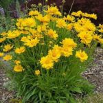 coreopsis grandiflora