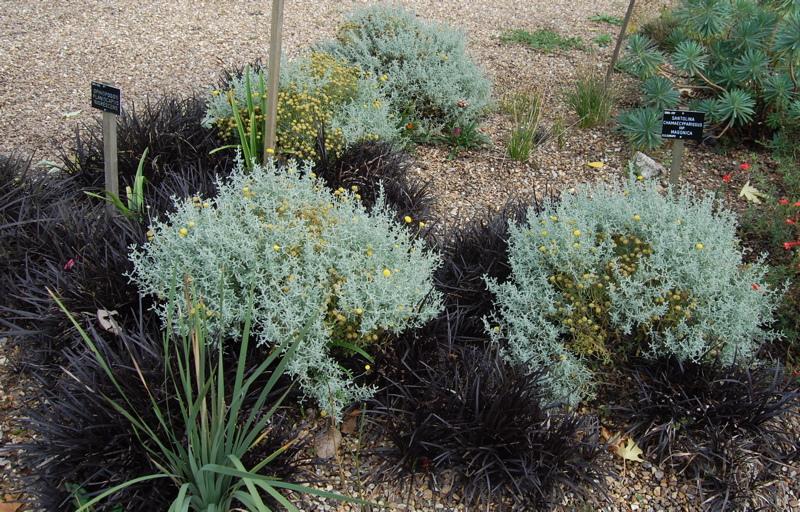 crna trava kombinacija sa santolinama