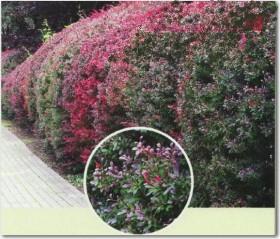 cvetne zive ograde