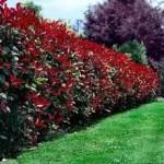 Žive ograde - prodaja sadnica