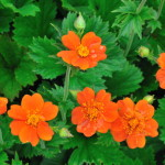geum coccineum