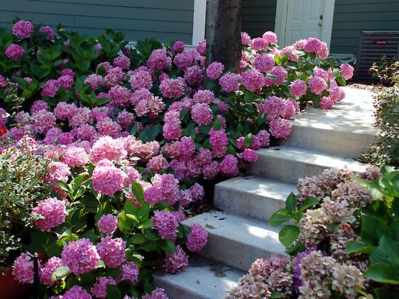 hortenzija roze