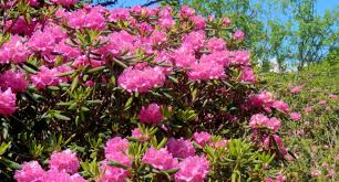 rododendron1