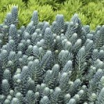 sedum rupestre blue