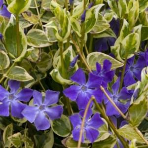 vinka minor variegata