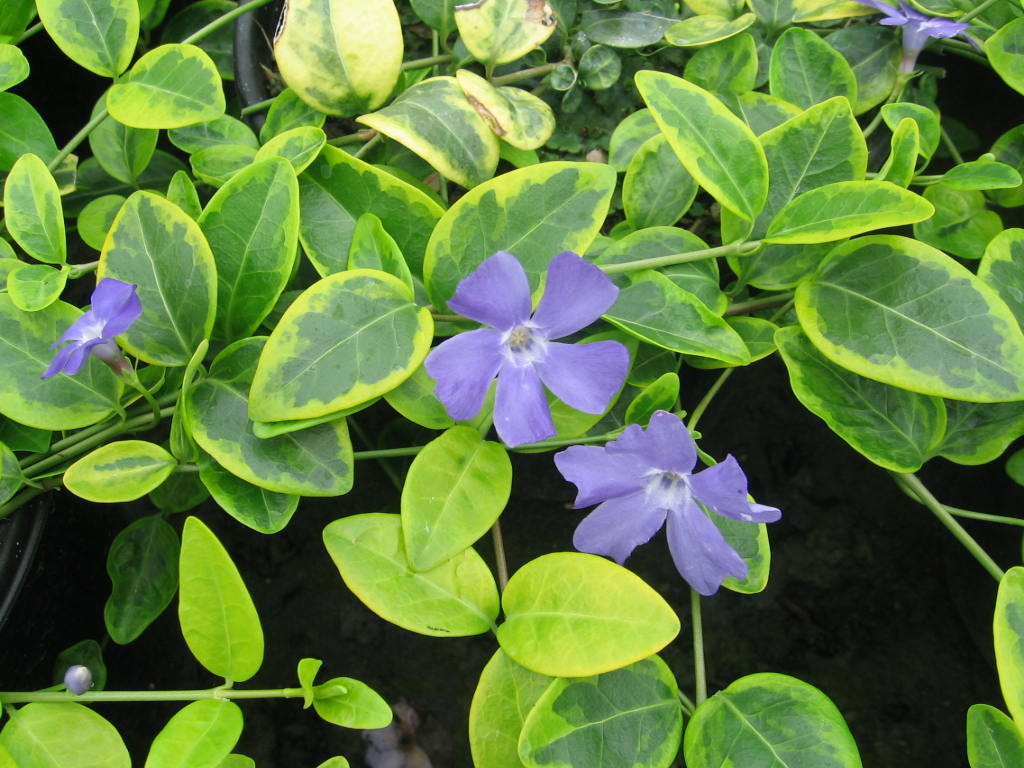 vinca_minor_blue_and_gold_050720_