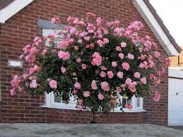 ruza stablasica roze velika