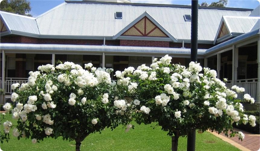 ruze stablasice bele sitne