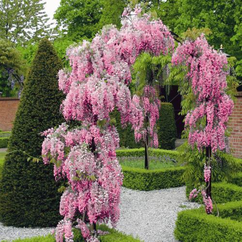 wisteria roze