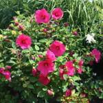 močvarni hibiskus