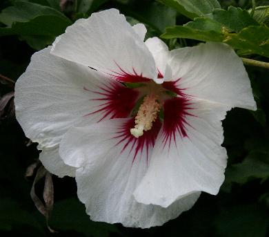 hibiskus beli