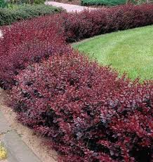 berberis red chief