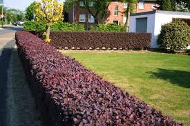 živa ograda berberisi