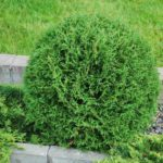 thuja tiny tim