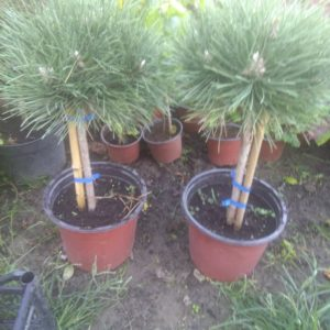 pinus nigra globosa - bor na stapu