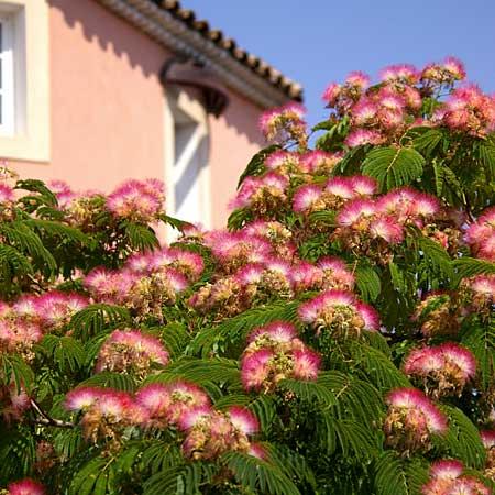 albicija mimoza