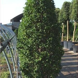 carpinus betulus grab