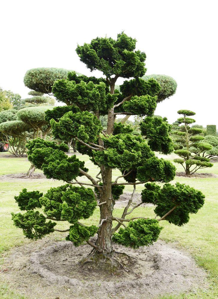 chamaecyparis nana gracilis1