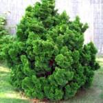 chamaecyparis lawsoniana nana gracilis
