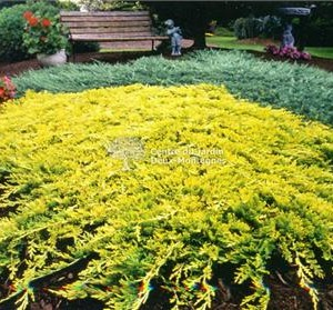 juniperus horizontalis golden carpet1