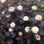 physocarpus opulifolius diabolo