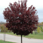 prunus virginiana canada red