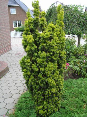 Taxus-baccata-Fastigiata-Aureomarginata