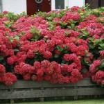 hortenzija masja