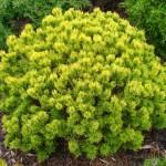 Pinus-mugo-'Ophir'