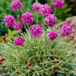 armeria nifty thrifty