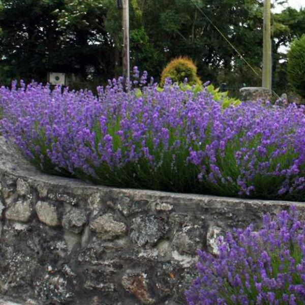 lavanda angustifolia1