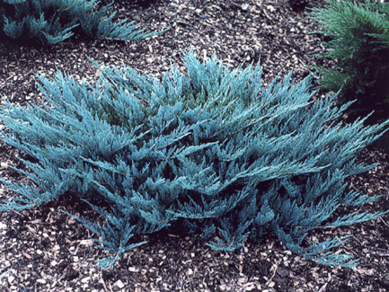 juniperus blue chip1