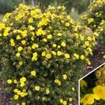 potentilla fruticosa goldfinger1