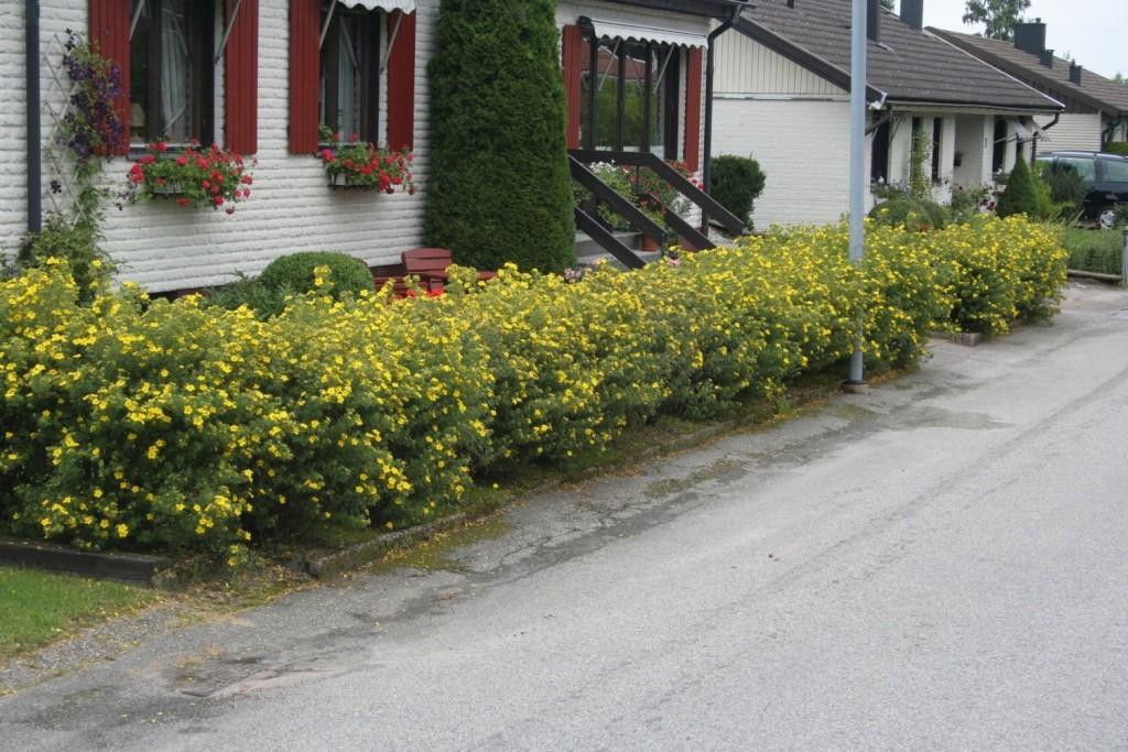 potentila fruticosa ograda