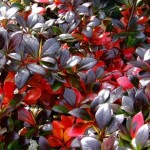 berberis media red yewel