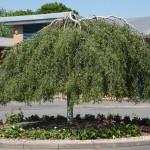 betula pendula - patuljasta breza